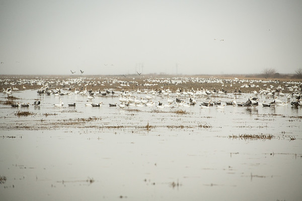 Fully Commited Snowgeese-0020