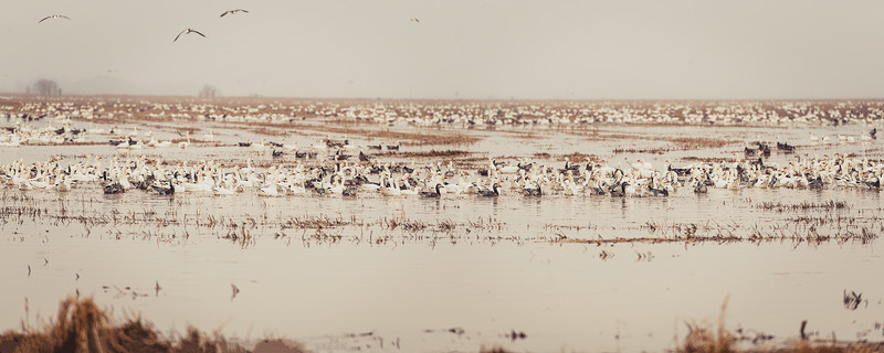 Fully Commited Snowgeese-0004