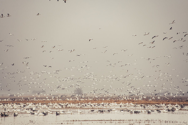 Fully Commited Snowgeese-0015