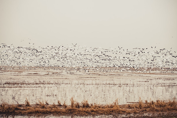 Fully Commited Snowgeese-0008