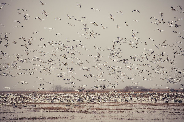 Fully Commited Snowgeese-0014