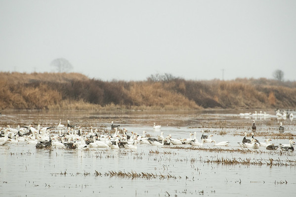 Fully Commited Snowgeese-0018