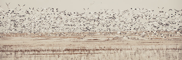 Fully Commited Snowgeese-0007