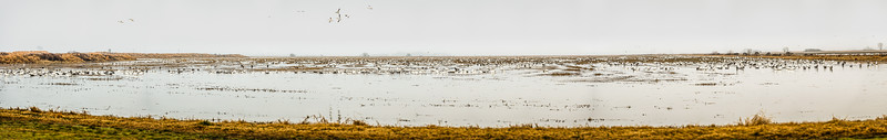 Fully Commited Snowgeese-0021