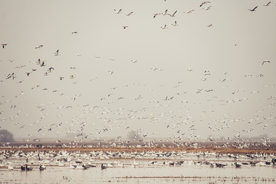 Fully Commited Snowgeese-0016