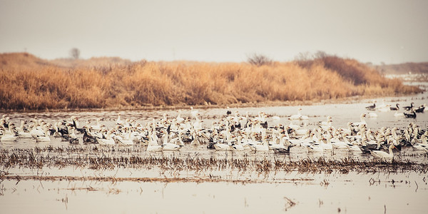 Fully Commited Snowgeese-0001