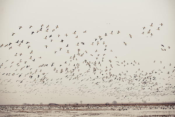 Fully Commited Snowgeese-0011