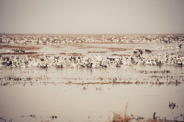 Fully Commited Snowgeese-0003