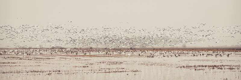Fully Commited Snowgeese-0009