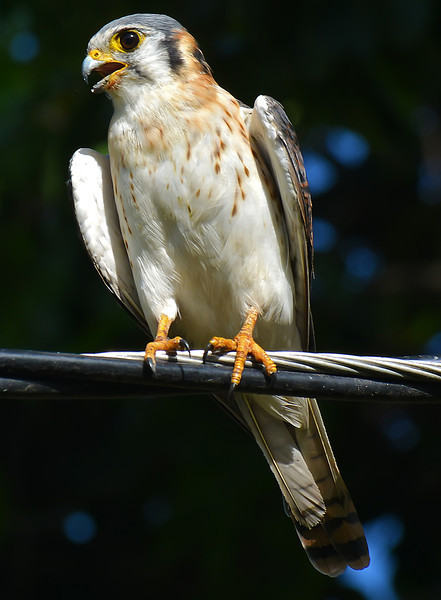 American kestrel (Falco sparverius), Kingston, Jamaica