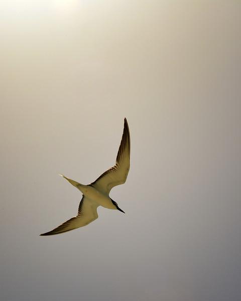 Bridled Tern (Onychoprion anaethetus), Goat Island, Jamaica