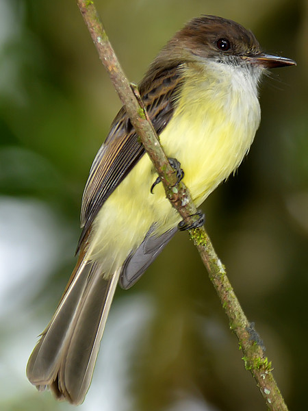 Sad flycatcher (Myiarchus barbirostris), Windsor Research Centre, Jamaica