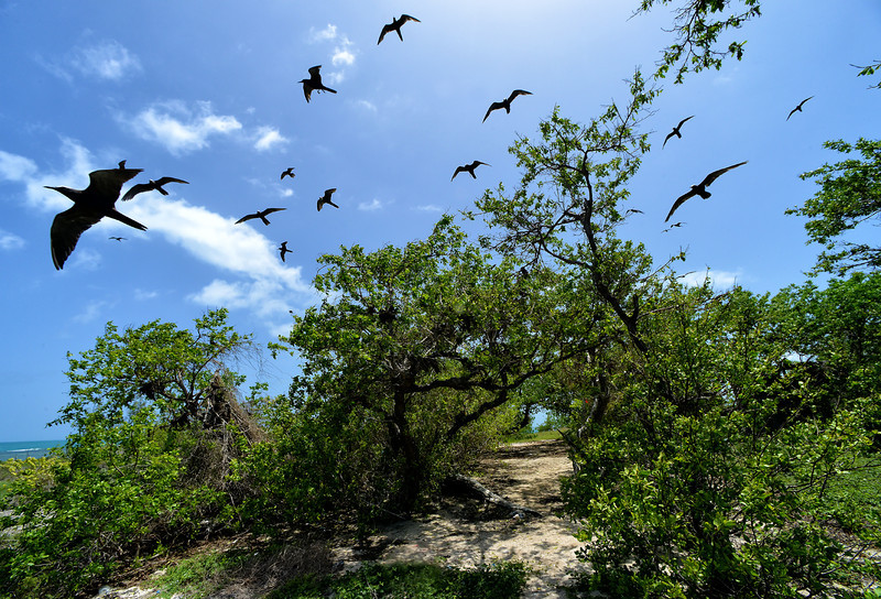 Breeding seabirds (brown noddies), Goat Island, Jamaica