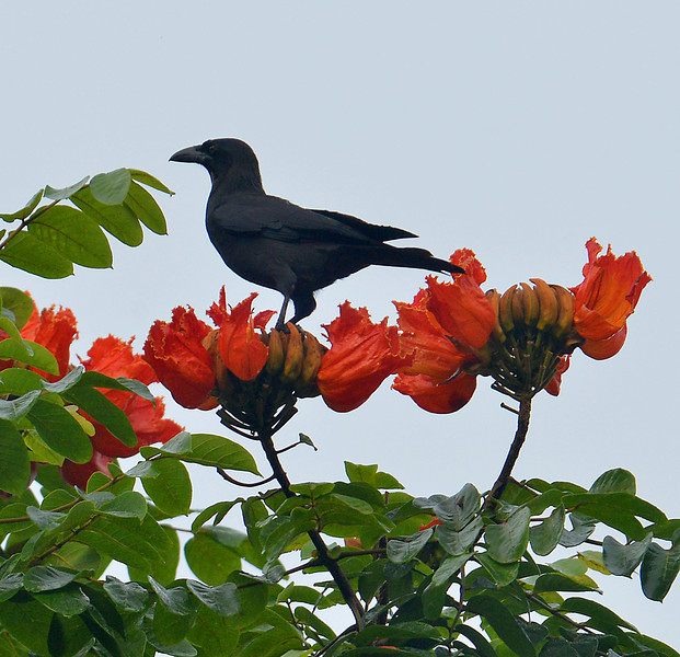 Jamaican Crow (Corvus jamaicensis), Windsor Research Centre, Jamaica