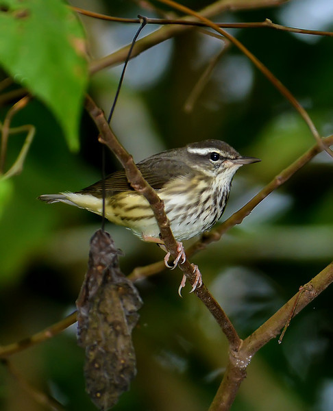 Louisiana waterthrush (Parkesia motacilla), Windsor Research Centre, Jamaica