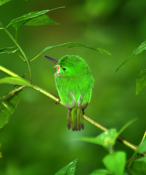 Jamaican tody (Todus todus), Windsor Research Centre, Jamaica