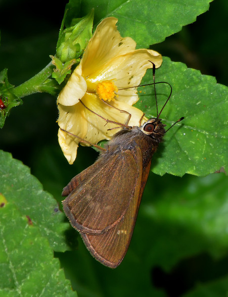 Three-spotted skipper (Cymaenes tripunctus), Windsor Research Centre, Jamaica
