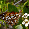 Gulf Fritillary (Agraulis vanillae), Windsor Research Centre, Jamaica