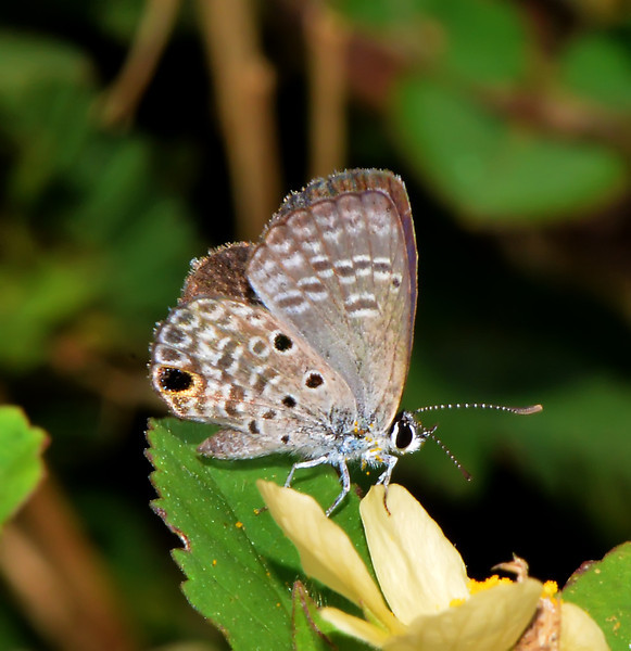 Ceraunus blue (Hemiargus ceraunus), Windsor Research Centre, Jamaica