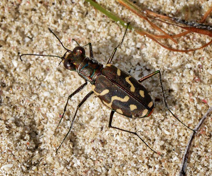 Tiger-beetle, Manatee Bay, Jamaica