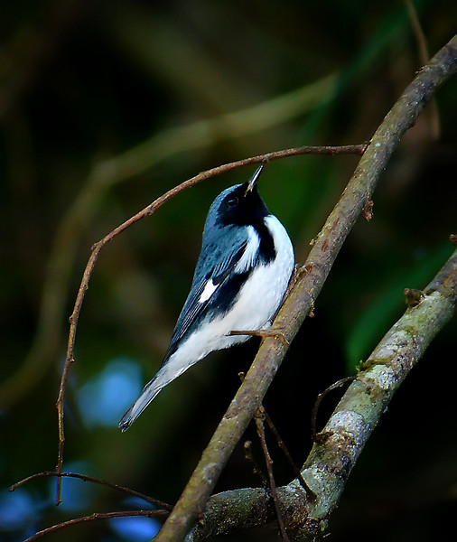 Black-throated blue warbler (Setophaga caerulescens), Windsor Research Centre, Jamaica