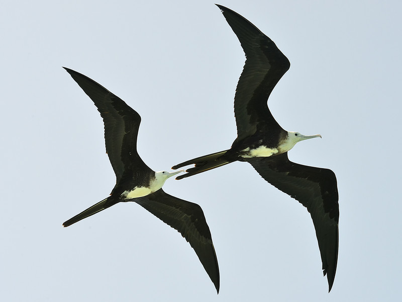 Young Magnificent Frigatebirds in Jamaica