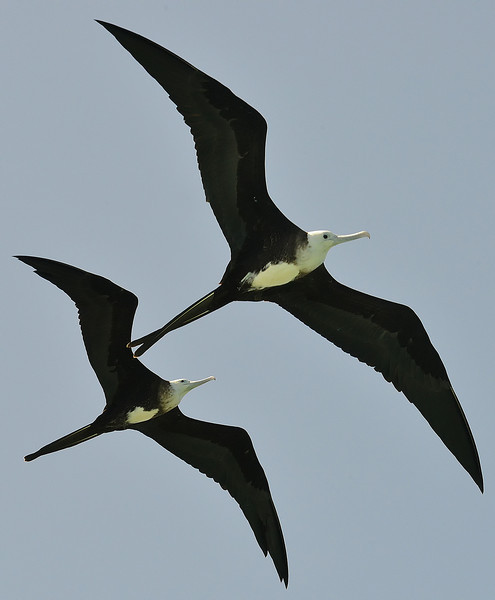 Magnificent frigatebird (Fregata magnificens), Portland Bight Protected Area, Jamaica, by Ted Lee Eubanks. Juveniles.