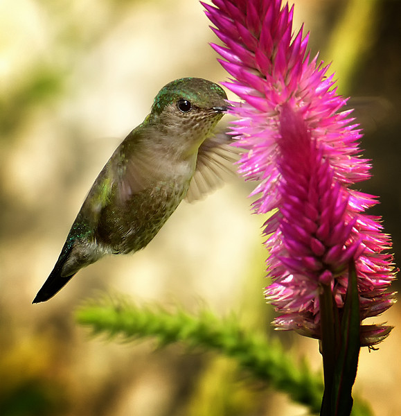 Vervain hummingbird (Mellisuga minima), Marshall's Pen, Jamaica, by Ted Lee Eubanks. This is the second-smallest hummingbird in the world (the bee hummingbird in Cuba is the smallest).
