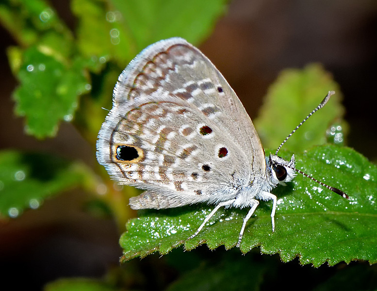 Ceraunus blue (Hemiargus ceraunus), Cockpit Country, Jamaica, by Ted Lee Eubanks.