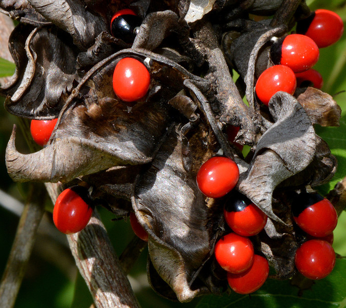 John Crow beads (Abrus precatorius), Portland Ridge, Portland Bight Protected Area, Jamaica, by Ted Lee Eubanks.