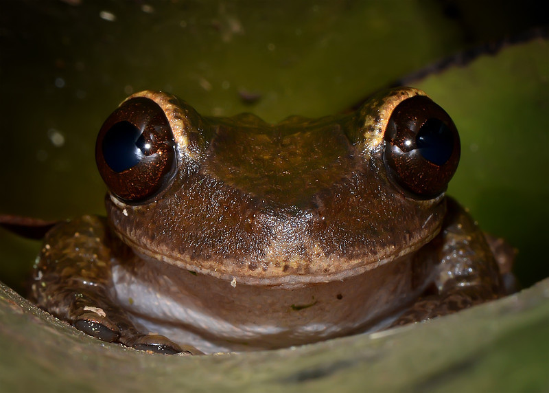 Jamaican laughing frog (Osteopilus brunneus), Marshall's Pen, Jamaica, by Ted Lee Eubanks.