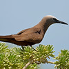 Brown noddy (Anous stolidus), Little Half Moon Cay, Portland Bight Protected Area, Jamaica, by Ted Lee Eubanks.