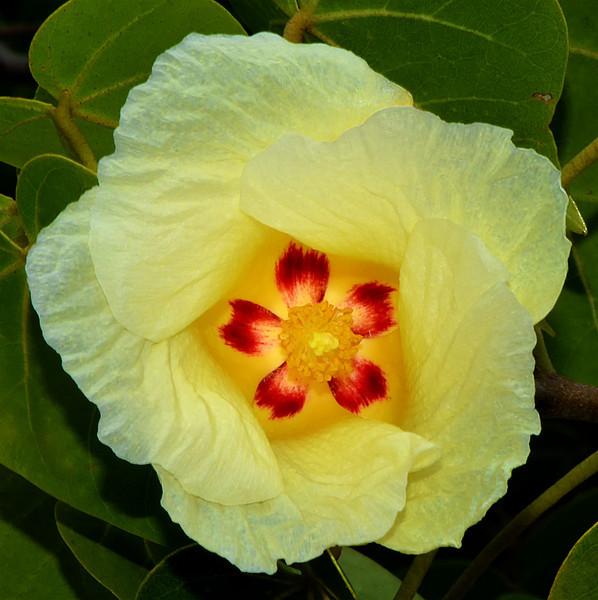 Seaside mahoe (Thespesia populnea), Portland Ridge, Portland Bight Protected Area, Jamaica, by Ted Lee Eubanks.