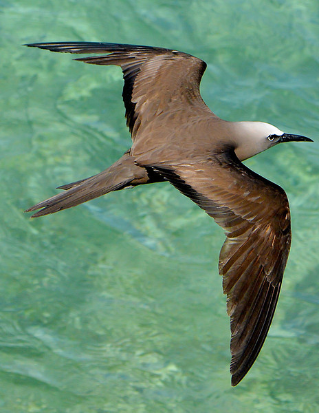 Brown noddy (Anous stolidus) by Ted Lee Eubanks.