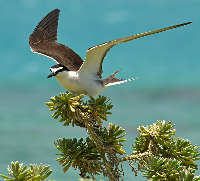 Bridled tern (Onychoprion anaethetus), Little Half Moon Cay, Portland Bight Protected Area, Jamaica, by Ted Lee Eubanks.