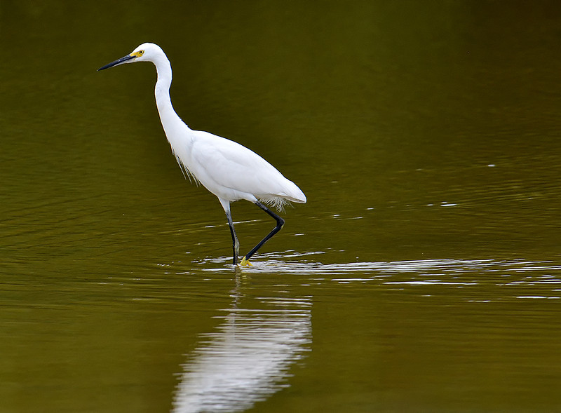 Snowy egret, Parotee Pond, Jamaica, by Ted Lee Eubanks.