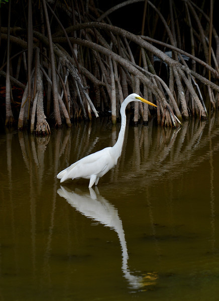 Great egret, near Montego Bay, Jamaica, by Ted Lee Eubanks.