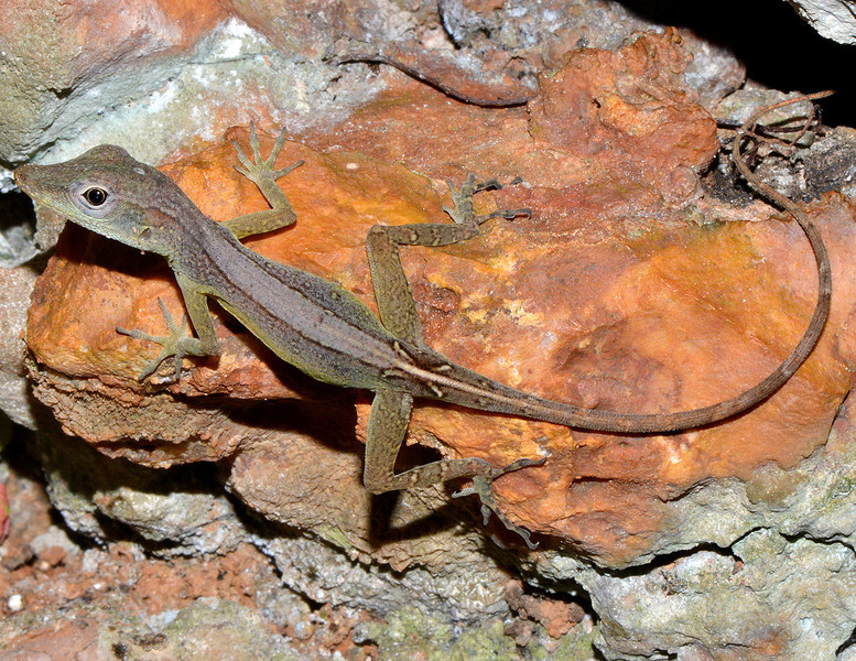 Anolis grahami, Cockpit Country, Jamaica, by Ted Lee Eubanks.