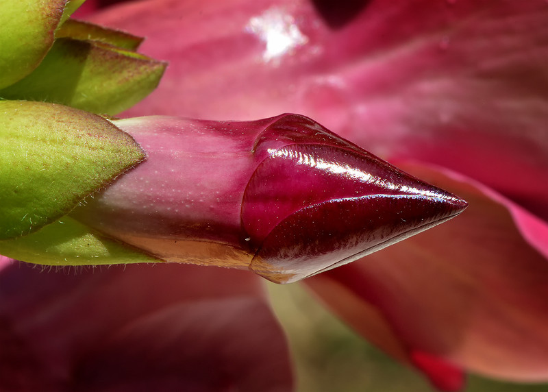 Allamanda flower bud, Cockpit Country, Jamaica, by Ted Lee Eubanks.