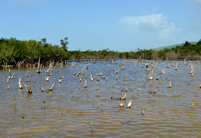 Mangrove restoration area, Portland Bight Protected Area, Jamaica, by Ted Lee Eubanks.
