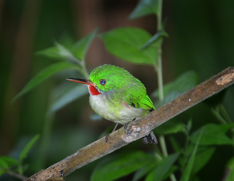 Jamaican tody (Todus todus), Cockpit Country, Jamaica, by Ted Lee Eubanks. Endemic.