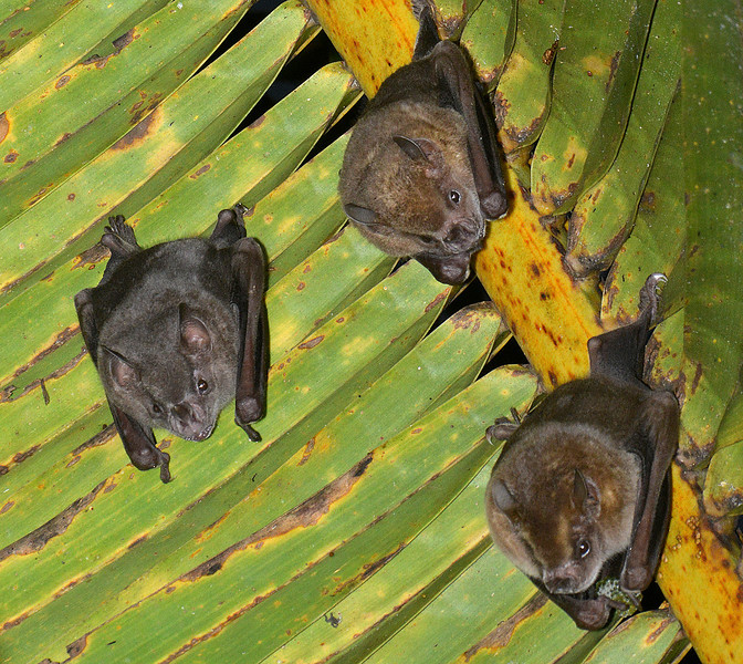 Jamaican fruit-eating bats (Artibeus jamaicensis), Cockpit Country, Jamaica, by Ted Lee Eubanks. — in Jamaica.