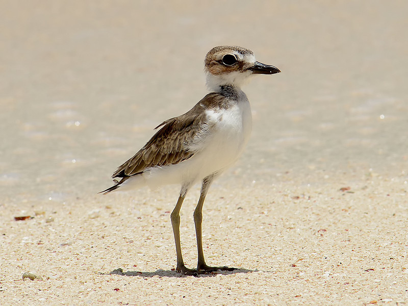 Wilson's plover (Charadrius wilsonia), Portland Bight Protected Area, Jamaica, by Ted Lee Eubanks. Juvenile.