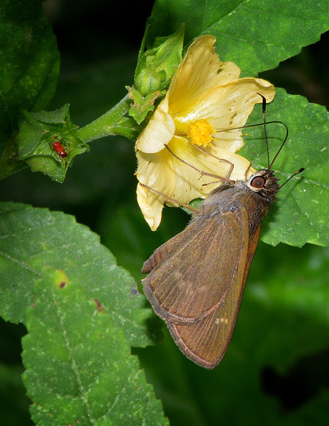 Three-spotted Skipper (Cymaenes tripunctus), Windsor Research Centre, Jamaica, by Ted Lee Eubanks.