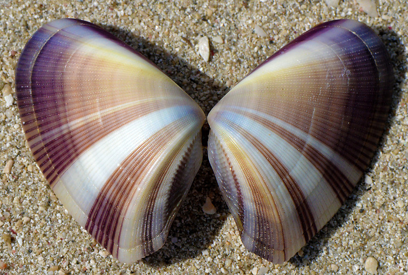 Shell on the beach at Manatee Bay, Portland Bight Protected Area, Jamaica, by Ted Lee Eubanks.