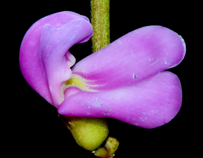 Beach or sea pea (Lathyrus japonicus), Portland Bight Protected Area, Jamaica, by Ted Lee Eubanks.