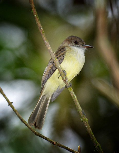 Sad flycatcher (Myiarchus barbirostris), Windsor Research Centre, Jamaica, by Ted Lee Eubanks.