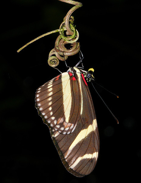 Zebra longwing (Heliconius charitonia), Cockpit Country, Jamaica, by Ted Lee Eubanks.