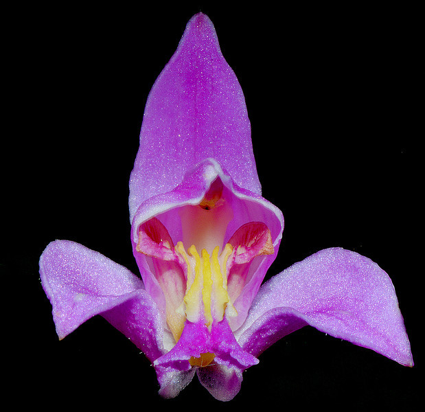 Bletia purpurea, Blue Mountains, Jamaica, by Ted Lee Eubanks. This is the most widespread of the orchids in Jamaica.