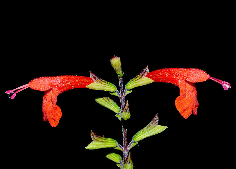 Salvia (sp.?), Cockpit Country, Jamaica, by Ted Lee Eubanks.